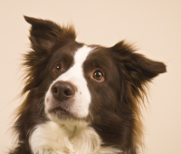 Badger the Border Collie