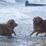 Toller playing in the sea